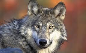 wolf coyote coywolf understanding wolf hybrids just got a bit
