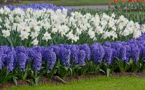 plant bulbs now don u0027t fret about water and be dazzled by spring