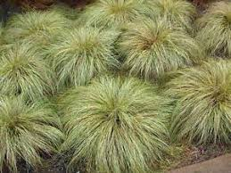 carex frosted curls ornamental grass 9cm potted plants ebay