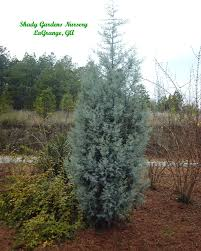 cypress shadygardens blog