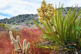anza borrego desert desert wildflowers and cactus in bloom in anza borrego desert