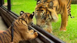 cubs meet tiger for the tigers about the house