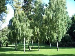 birch tree cluster photo