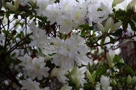 file flowers spring azalea white west virginia forestwander