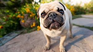pug puppies wallpaper desktop 4k hd quality pictures nmgncp