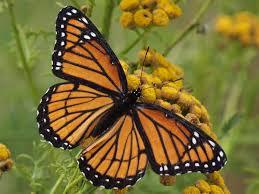 capt mondo s photo archive viceroy butterfly on a
