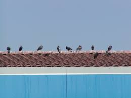 How To Get Rid Of Pigeons Off My Roof by Bird Problems And Solutions Bird Barrier