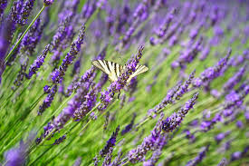 free images nature purple floral aroma green herb crop