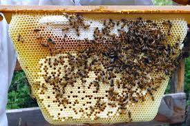 Harvesting Honey From Top Bar Hive Backyardhive Com Honey Comb Identification Brood Nest