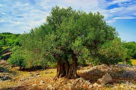 origins of domesticated olive tree revealed