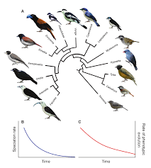 an example of adaptive radiation and early bursts in rates of