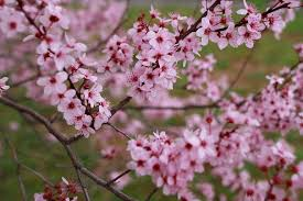 early bloomers eight of beijing u0027s must see spring flowers the