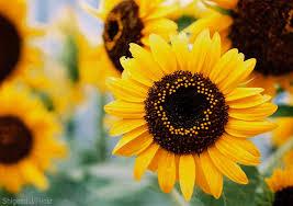 12 sunflowers for your garden hobby farms