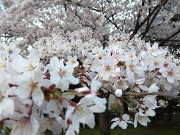 where to visit for the cherry blossoms in fukuoka city sakura in