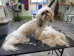 haircuts for shih tzus males memoirs of a pet groomer march 2012