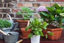 Okra Container Gardening How To Harden Off Plants For Transplanting