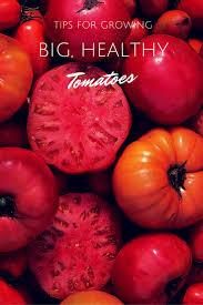 147 best tomato grown in buckets images on pinterest gardening