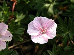 varieties of true geraniums and tips for growing them