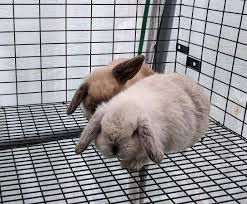 holland lop baby pet bunny rabbits in hoobly classifieds