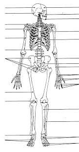 Anatomy Of Human Body Bones Blank Bone Diagram Anatomy Organ