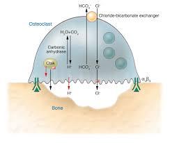 ch 7 slides chapter 7 bone tissue http www columbia edu itc hs