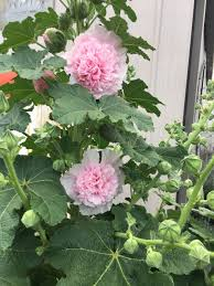 hollyhock flowers the simplest way to grow hollyhocks wikihow