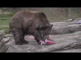 Ozzy The Grizzly Bear Picks The Eagles To Win The Super Bowl Local - ozzy the grizzly bear predicts super bowl xlviii download mp3 1 07