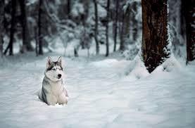 dogs forest husky snow walldevil