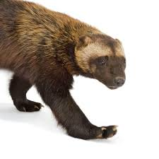 wolverine national geographic