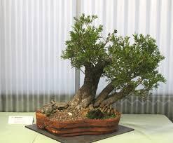 bonsai australian native plants native plants as bonsai u2013 exhibition 2015 pt3 wattos bonsai blog