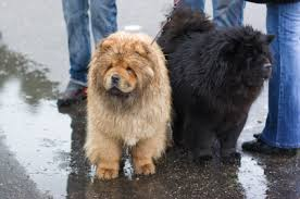 chow chow x belgian malinois chow chow history and health
