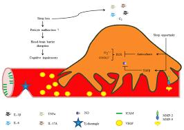 Blood Brain Barrier Anatomy Frontiers Pericytes Brain Immune Interface Modulators