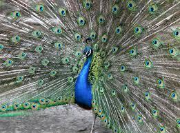 merak hijau gambar burung padang rumput kebun binatang fauna burung