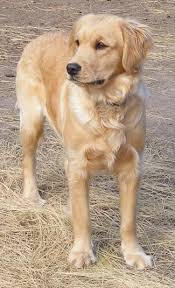 Comfort Retrievers Miniature Golden Retriever Dog Breed Information And Pictures