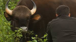 worlds biggest wild cows dangerous gaur of india youtube