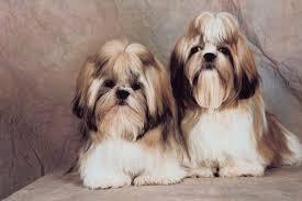 haircuts for shih tzus males shih tzu mating facts cuteness