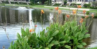 canna lilies water garden cannas water garden water lilies and pond plants
