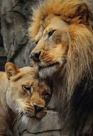 male lion wallpapers laughing awesome pinterest laughing lion and lol