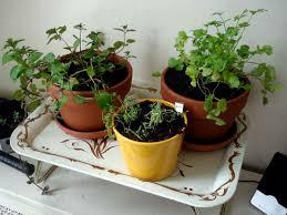 container herb garden 10 herbs you must grow indoor plants expert
