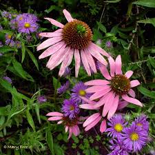 native plants of virginia on the echinacea u2013 what u0027s that insect master gardeners of