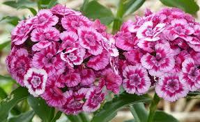 sweet william flowers sweet william flower wildflower sweet william great in flower