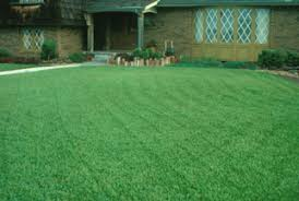 tall fescue grass seed top turf