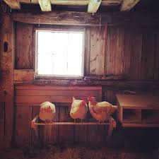 want to raise backyard chickens start now mainetoday