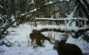deer bedding area tactics whitetail habitat solutions