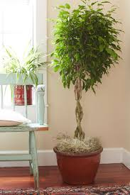 Modern Houseplants by Terrific Trees Are Fantastic Houseplants Costa Farms