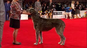 afghan hound ireland beverly hills dog show hound group nbc sports