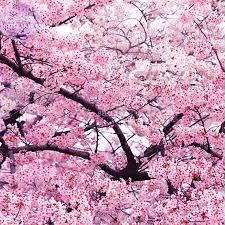 aliexpress com buy bellfarm japanese pink cherry blossom sakura
