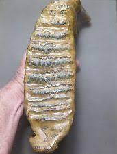 mammoth fossil ebay
