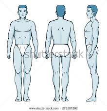 Male And Female Anatomy Anatomy Silhouette Stock Images Royalty Free Images U0026 Vectors