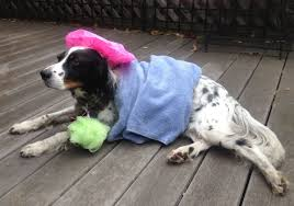 boxer puppy halloween costumes last minute diy halloween costumes for your pets